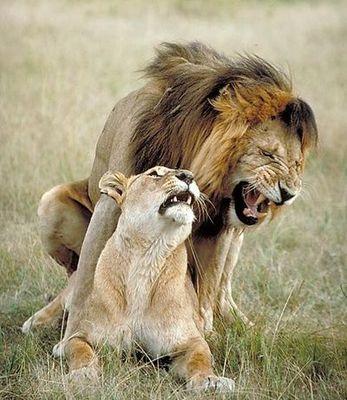 leones_2