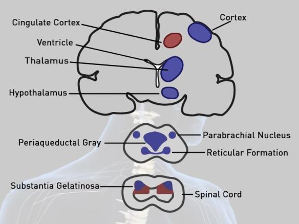 12. opioid receptors