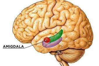 la-amigdala